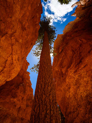 Trees-in-bryce-canyon-2