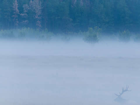 Elk in the Mist