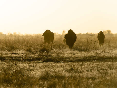Morning-bison