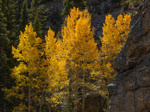Flaming-aspens