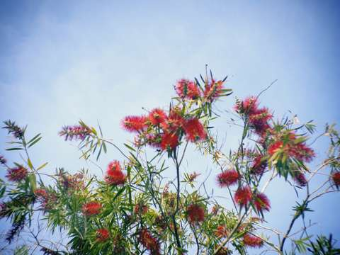 Red Bottlebrush Flowers