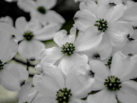 Dogwoods in March