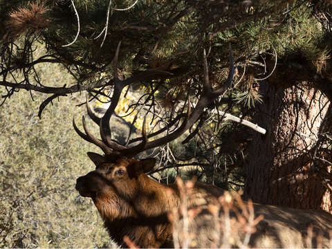 Bull-elk-in-the-trees