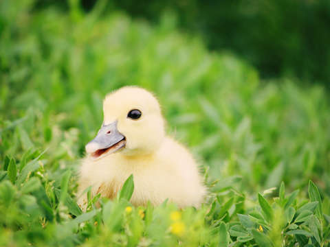 Happy go ducky