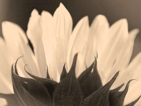 Sunflower, Sepia