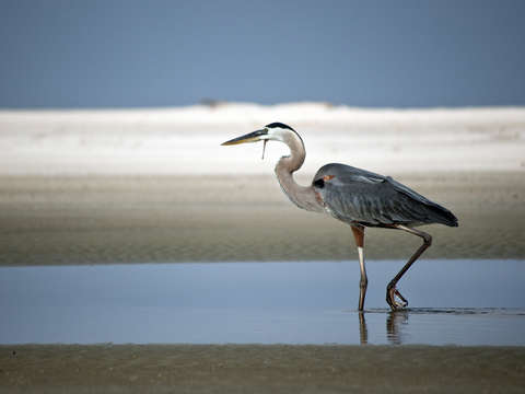 Great blue heron on sandy beach