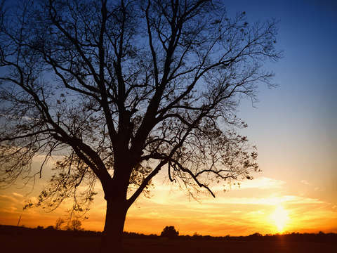 Bare tree at sunset