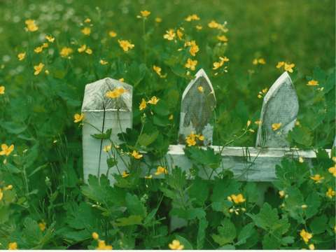 Buttercups and Fence