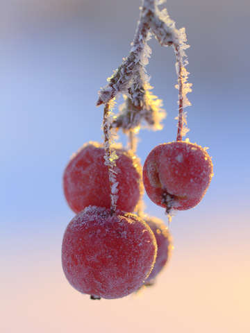 Frosty apples