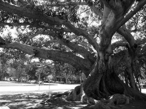 Moreton bay fig tree beverly hills ca