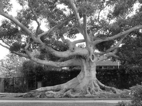 Moreton bay fig tree la mesa santa monica ca