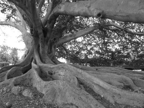 Moreton bay fig tree santa barbara ca