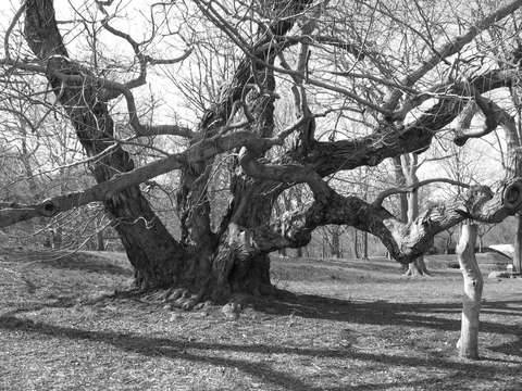 Oak tree brooklyn botanic gardens brooklyn ny