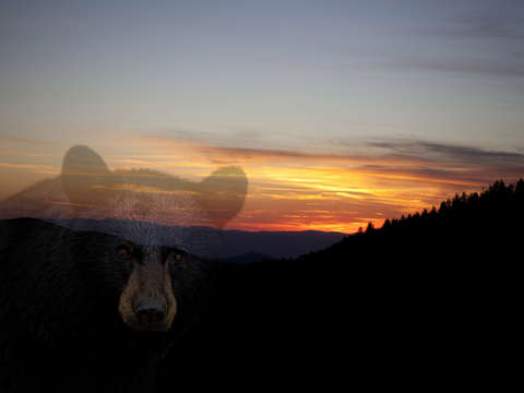 Black bear sunset