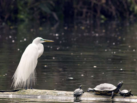 Egret and turtles