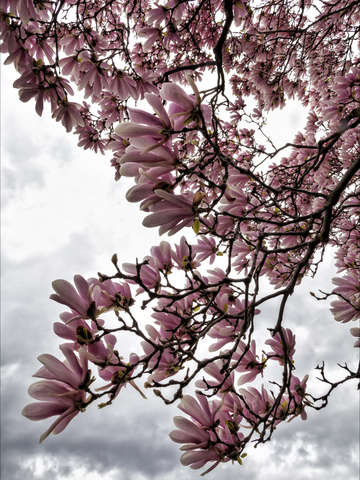 Magnolias and clouds