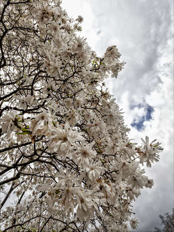Magnolias and clouds 2