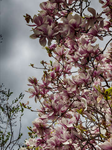 Magnolias and clouds 3