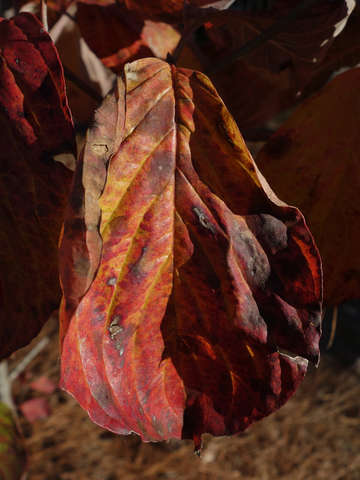 Autumn Magnolia Leaf