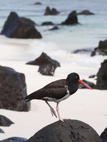 Galapagos oyster catcher