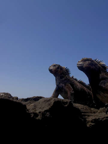 Marine iguanas on the lookout