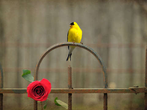 Goldfinch and roses