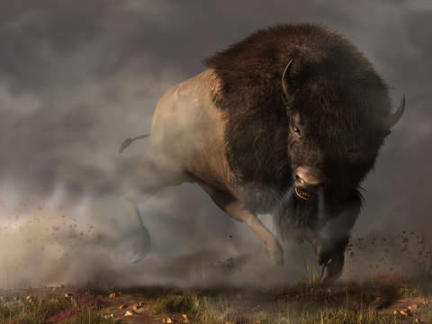 Charging bison