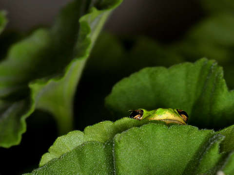 Tree frog peeking