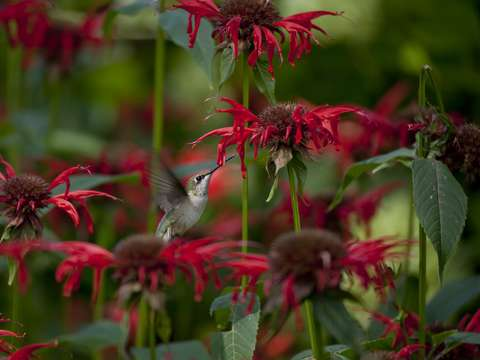 In the bee balm forest