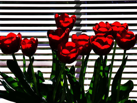 Blinds tulips
