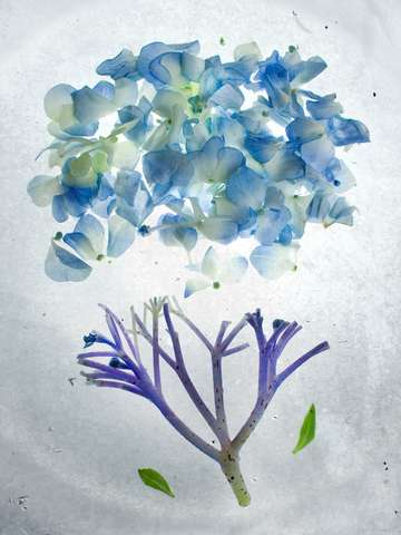 Botanical blueprints hydrangea