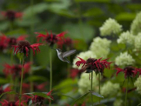 In the bee balm forest ii