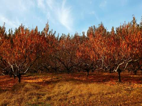Apple trees in fall