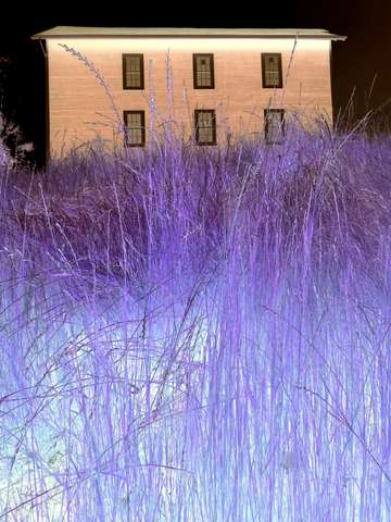 Purple grass 2
