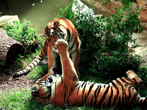 Playful Tigers