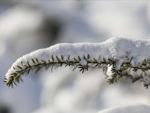 Pine branch and snow
