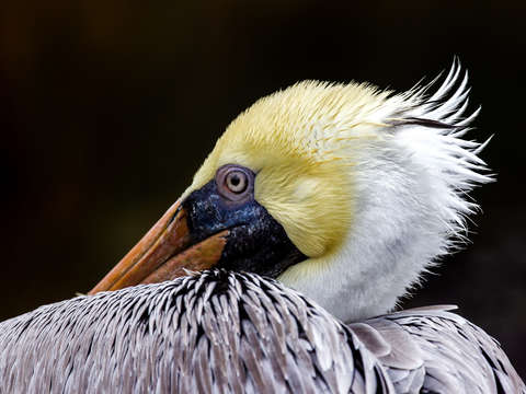 Adult male pelican