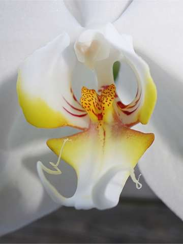 Butterfly orchid close up