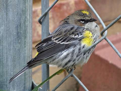 Pretty warbler on a fence