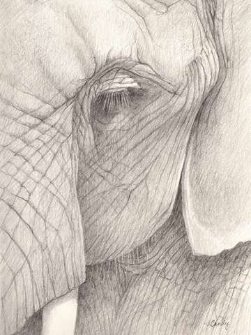 Elephant eye ii