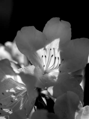 Azalea in black and white