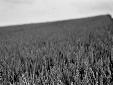 Wheat in the French Countryside I
