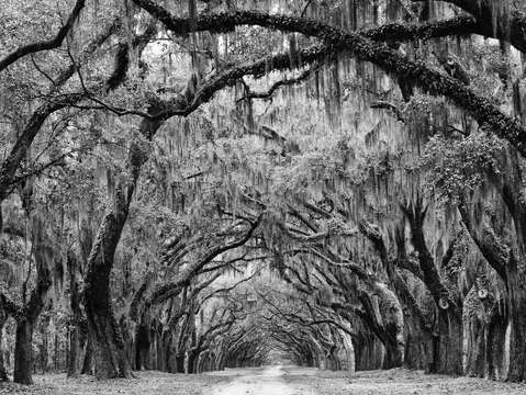 Avenue of the oaks savannah