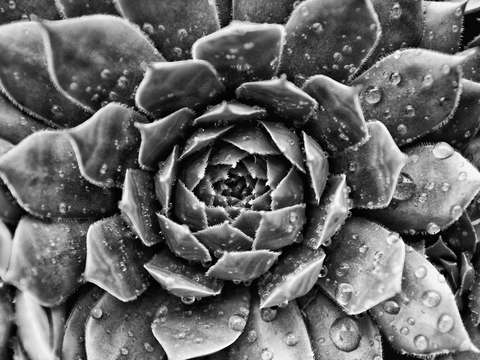 Succulent with raindrops