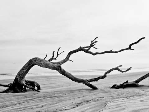 Bent tree on driftwood beach