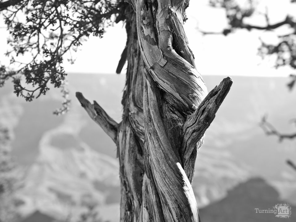 Twisted tree at the grand canyon