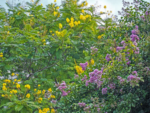 Golden rain and crepe myrtle