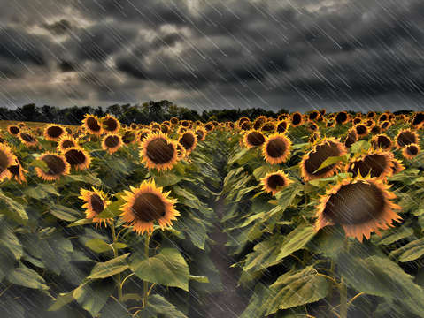 Rainy sunflowers