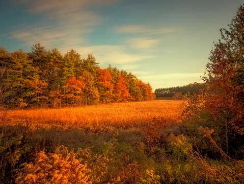 Golden field maine