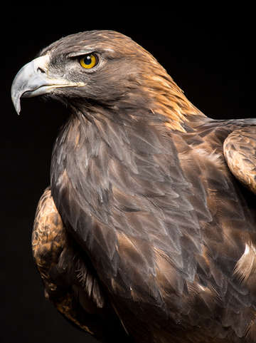 The majestic golden eagle